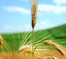 Odkup pšenice