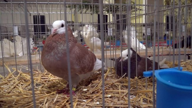 42. meddruštvena razstava malih pasemskih živali